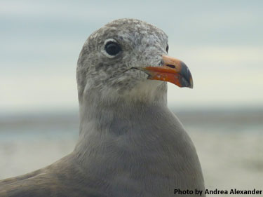Photo of gull by Andrea Alexander