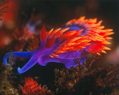 Spanish Shawl Nudibranch, by Christopher Bradford